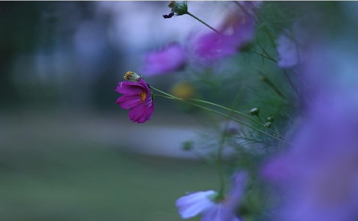 বেগুনী ডেইজি ফুলের সৌন্দর্য (স্থান: সিলেট শাহজালাল বিজ্ঞান ও প্রযুক্তি বিশ্ববিদ্যালয়) (ছবি: আল-আমিন পাটওয়ারী)
